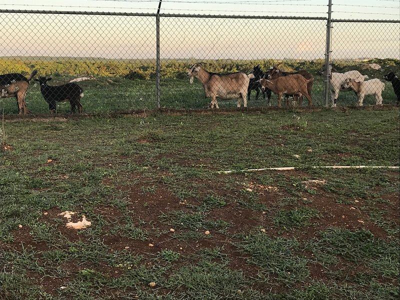 goats grazing outside the gated community of Stonebrook vista