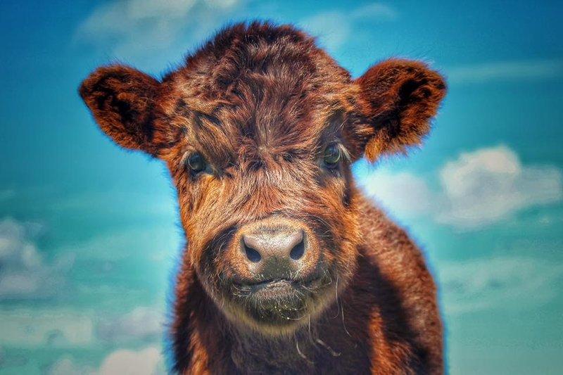 Il nostro vitello dell'altopiano