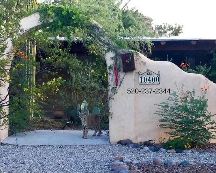 Bobcat visiting The Bed and Burro Inn