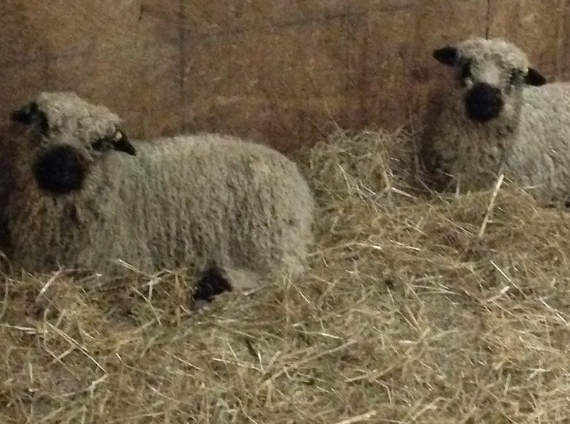 Aristotle & Galileo, the resident Silvernose sheep