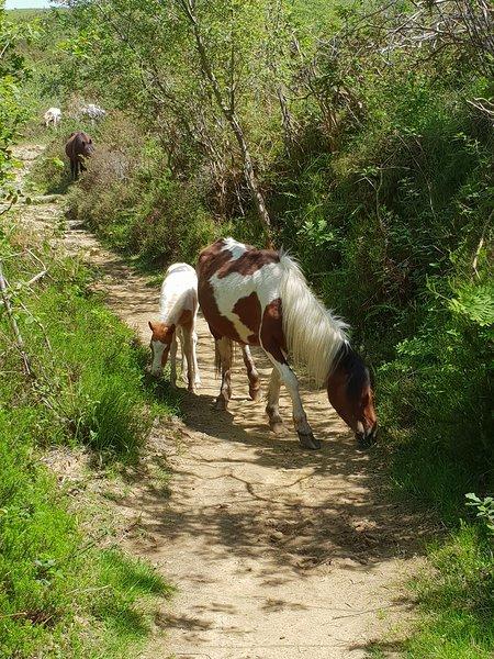 Pottoks en semi-liberté  sur l'un des sentiers de randonnée, aux alentours du gîte