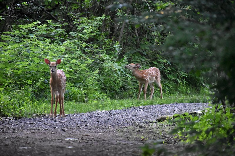 We have a family of deer on the property! You might catch a peek of the twins if you're lucky.