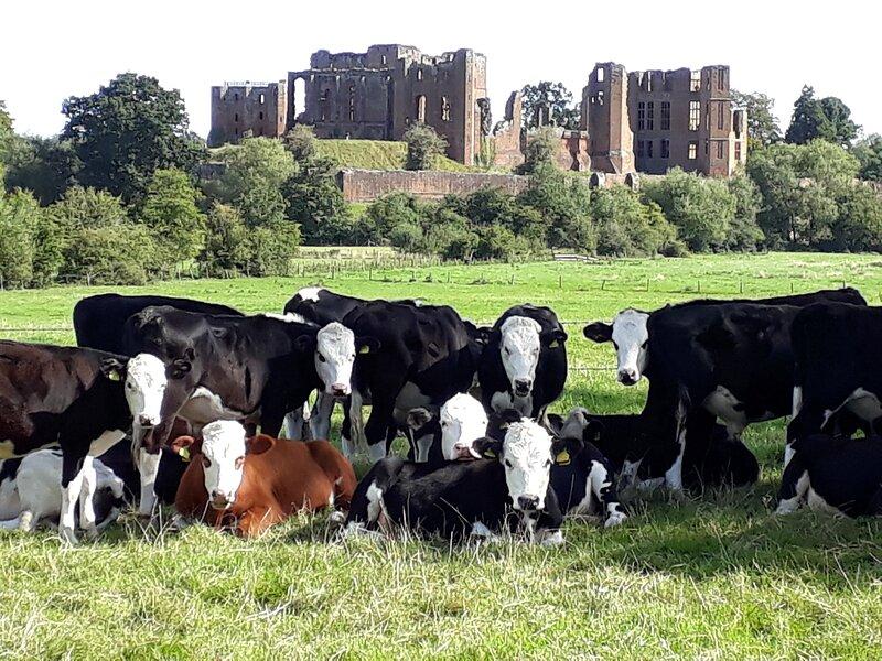 Cattle grazing by Kenilworth Castle