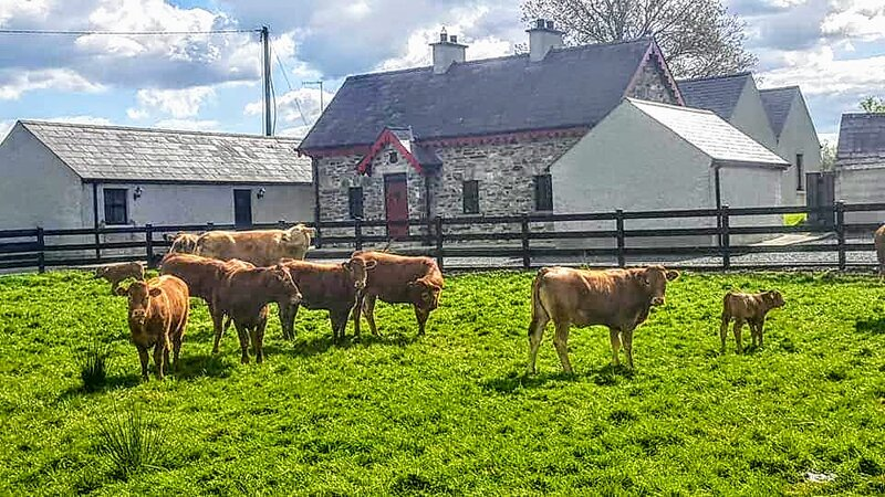 Muckno Lodge - say hello to our friendly cows and baby calves