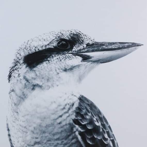 Our Kookaburra logo