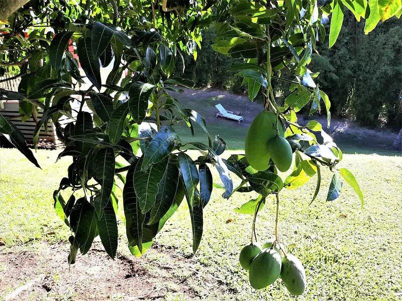 Seasonal Mangoes on Property.