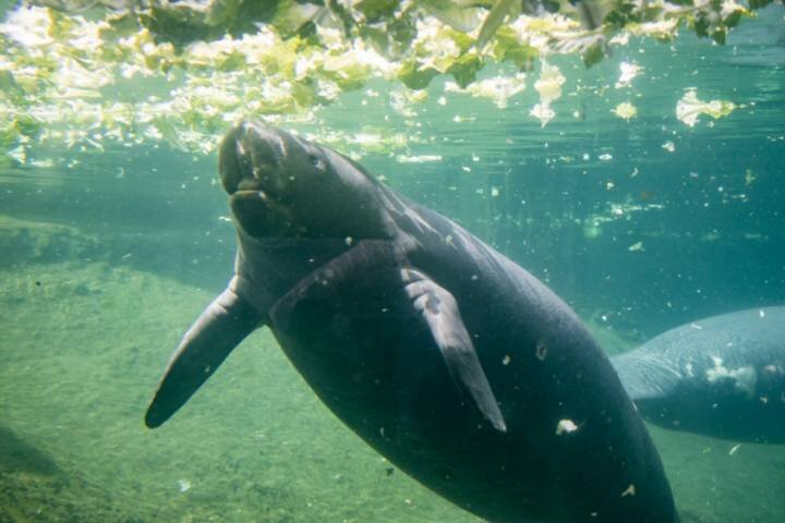 Manatees!  See these gentle giants in the wild or ZooTampa.