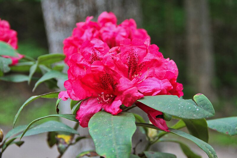 Rhododendron blooming in springtime