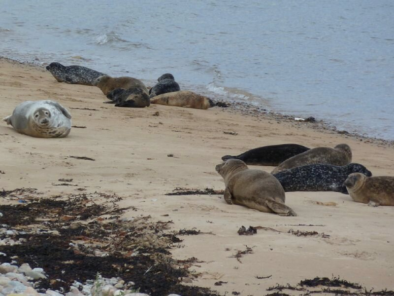 Seals on the beach just south of Brora