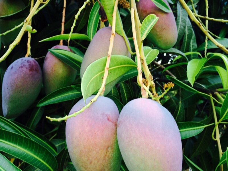Organic seasonal mangoes grown at the property