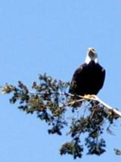 Watch for Bald Eagles....they are frequently spotted soaring above the cottage.