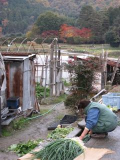 Washing vegetables from Shugakuin Imperial Villa's fields