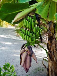 Banana trees around the pool