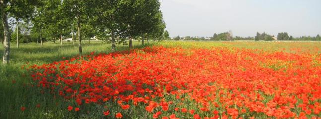 Poppy field in flower