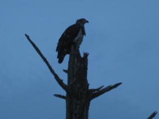 Immature American Bald Eagle