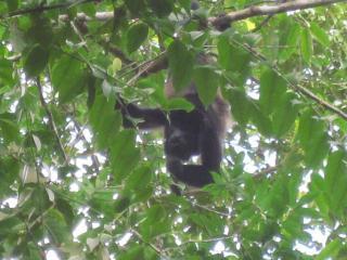 Congo (Holler) Monkey on property