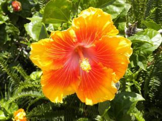 One of the many hibiscus on the grounds at Vista Waikoloa