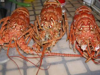 gorgeous grilled fresh caught lobsters