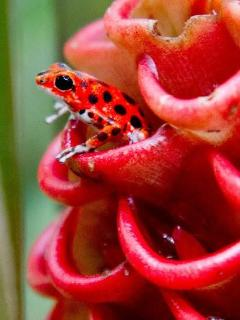 The Famous Red Frogs of Bocas!