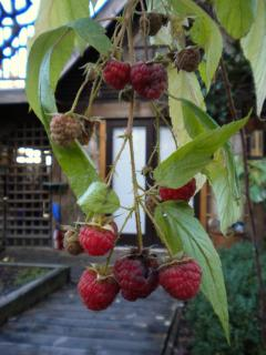 Raspberries in December