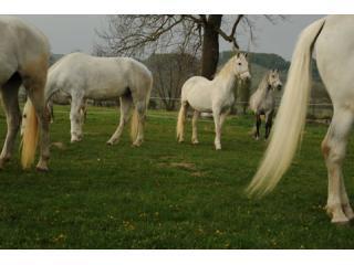 33 Lipizaner horses at Sambata de Jos DSC_7723.JPG