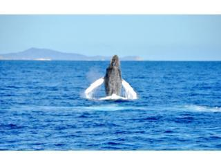 Whale breaching just offshore in Los Cabos- February 2010