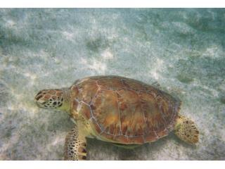 Resident Turtle
