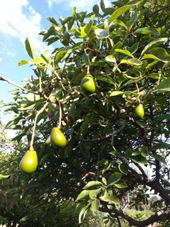 The  garden avocados on the trees
