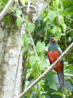 Bairds and Slaty tailed trogons