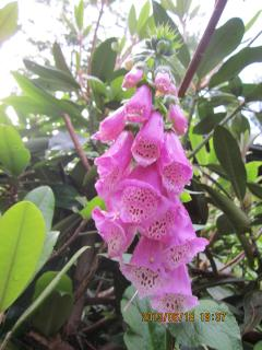 foxglove in the early summer