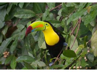 Keel Billed Toucan on property
