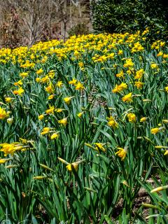 Daffodils now in bloom!