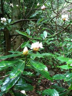 Rhododendron - June bloom time