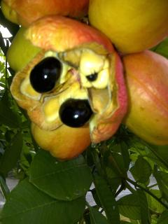 Ackee (the national dish) and one of my personal favorites,, grows right on the property as well.