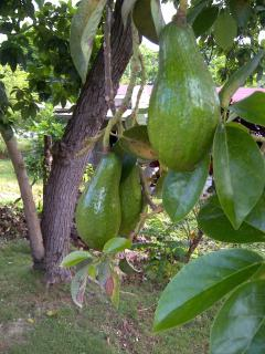 "Jamaican ""pear"" The biggest avocados  you've ever seen, grown on site. Dry and delicious"