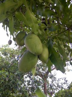 Two mango trees on the property, plentiful when in season This variety is known as East Indian mango