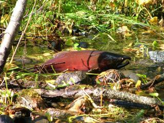 Salmon spawning grounds in our creek