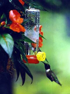 Often Hummingbirds are seen at the feeders and the flowers throughout the summer.