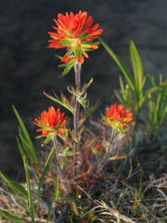 The Indian Paint Brush blooms early in the year