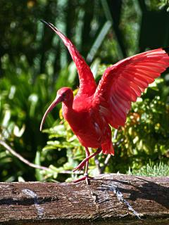 Scarlet Ibis at Birds of Eden