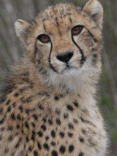 An amazing adventure with the Wild Cats at Tenikwa: A cheetah poised