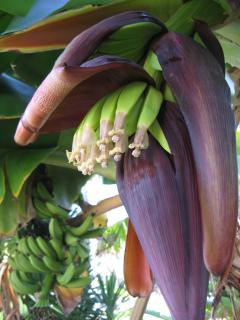 Bayside Banana Flower Opening