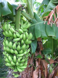 Bayside Banana Bunch after Flowering