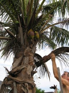 Picking a Coconut
