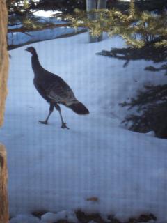 Wild turkey strolling by the window.