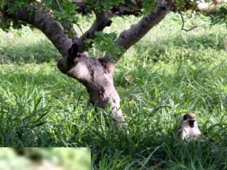 Apor spelar i fältet utanför Calypso