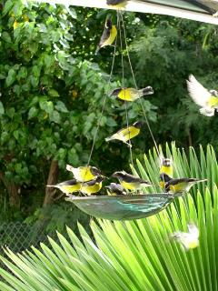 Bananaquits attracted to the sugar water feeder on the deck