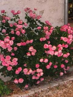 Da Vinci Roses on the Cottage (Main Facade)