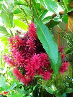 Ginger  Plant Cluster