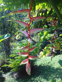 Hanging 'Sexy PinK' Heliconia